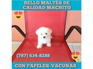 BELLO MALTES DE CALIDAD CON PAPELES Y VACUNAS, Puppy world