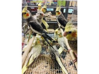Muchos cockatiel , Isabela Pet Shop