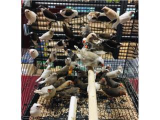 Muchos finches , Isabela Pet Shop