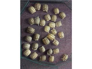 Tortugas Sulcatas en especial $97.77, Isabela Pet Shop