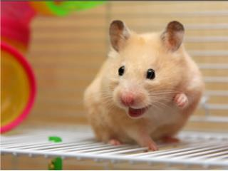 Hamsters en especial , Isabela Pet Shop