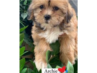 Shorkie Puppy (Shih Tzu con Yorkie), Puppy Love PR