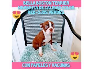 ESPECTACULAR BELLA BOSTON TERRIER CON PAPELES, Puppy world
